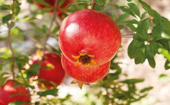 Granatove jablko je v mnoha kulturach symbolem krasy, plodnosti, smyslnosti a sily.